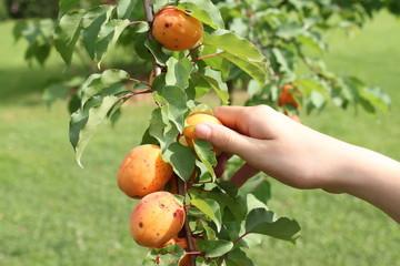 Una mano raccoglie albicocche dal ramo