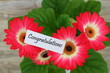 Congratulations card with gerbera daisies