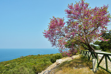 Judas tree against the sea in the national park Dilek, Turkey