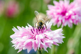 Summer: Bee on a pink cornflower :)