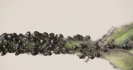 The flock of black aphid on a stem FS700  4K RAW odyssey 7Q