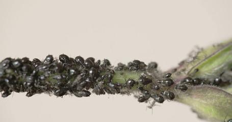 The flock of black aphid on a stem FS700  4K RAW odyssey 7Q