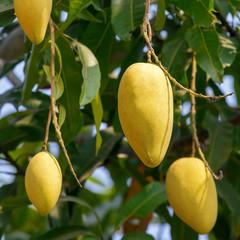 Mango fruits on a tree close-up