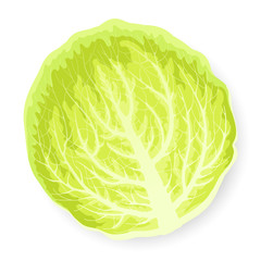 Green cabbage leaf