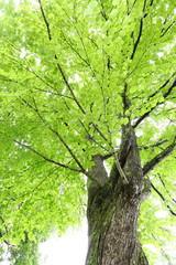カツラの大木