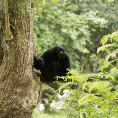 Black cheeked gibbon or Lar gibbon sitting
