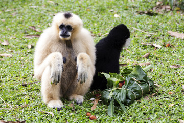 Cheeked Gibbon or Lar Gibbon sitting