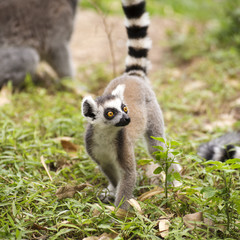 Ring-tailed lemur standing