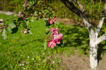 apple tree branch with pink blossom on garden