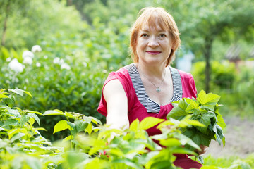 Mature woman gathers raspberry leaves
