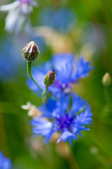 Bud of Blue cornflower