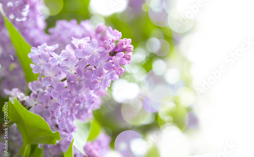 In de dag Lilac lilac purple flowers