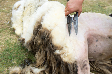 Shaving a sheep