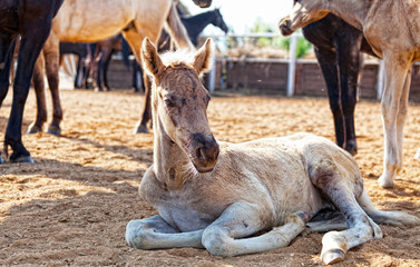little foal lies in the shelter