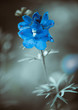 blue garden flower at abstract background