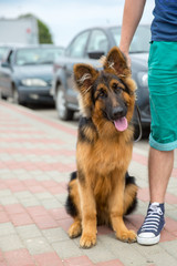 domestic dog German Shepherd breed