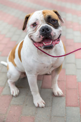 domestic dog English Bulldog breed