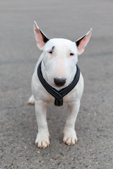 domestic dog Miniature Bull Terrier breed