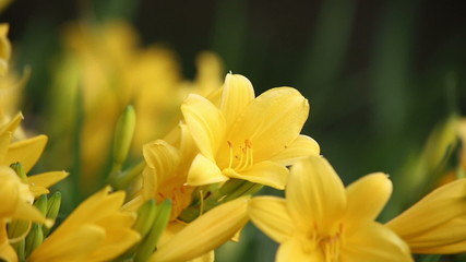 Yellow Lilies swaying in the wind. 3 videos in 1. HD 1080.