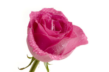 Pink Rose & Droplets