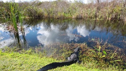 American Alligator in the Everglades National Park.USA