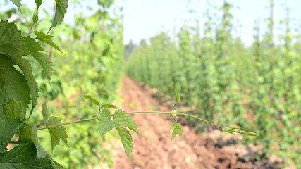 hop garden in vegetation, locked down