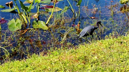 Little Blue Heron in Everglades NP,USA