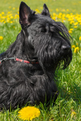 Black dog Scottish Terrier breed