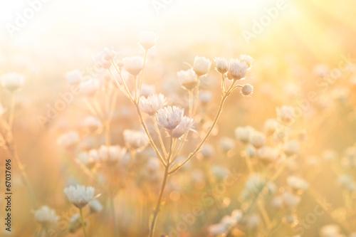 Zdjęcia na płótnie, fototapety na wymiar, obrazy na ścianę : Meadow flowers - daisy illuminated by sunlight
