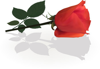 single red rose flower with shadow on white