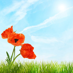 Red bright poppy flowers and green grass against blue sky
