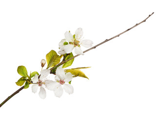three flowers on spring cherry tree branch