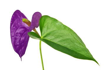 lilac anthurium flower and greel leaf