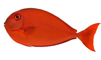 small red spotted fish isolated on white