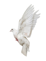 flying isolated white pigeon