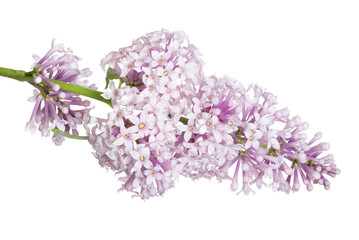 light isolated lilac small inflorescence