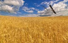 bociany nad złotym polu pszenicy
