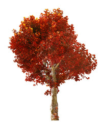 red London plane tree on white