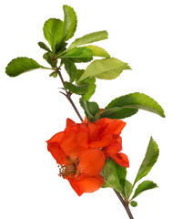 blossoming isolated pomegranate branch