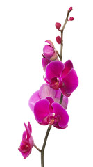 branch with bright large pink orchid flowers