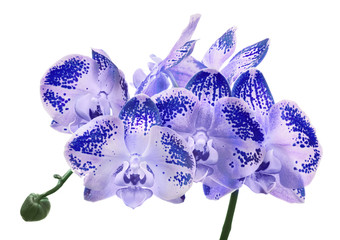 isolated lilac orchid flowers in dark spots