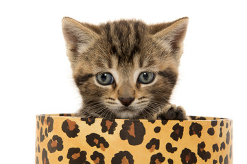 Cute tabby kitten in box