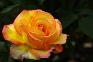 """Rose """"Solitare"""""""