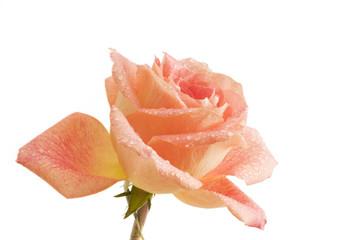 Droplets on Single Rose