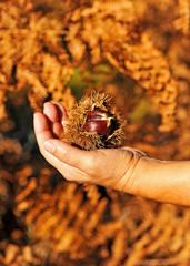 Castañas en la mano, otoño