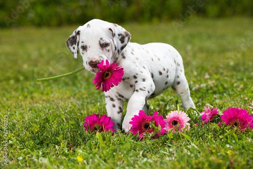 Foto op Canvas Dragen Dalmatinerwelpe