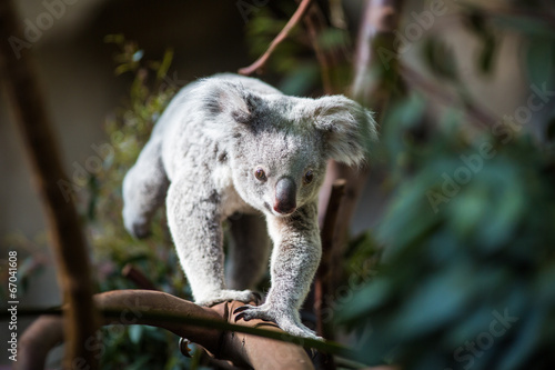 Aluminium Koala Koala on a tree with bush green background