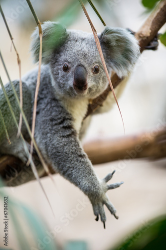 Fotobehang Koala Koala on a tree with bush green background