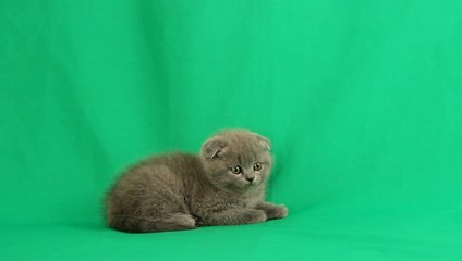 amusing kitten on a green screen
