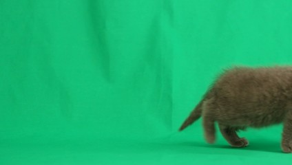 funny kitten walks on a green screen